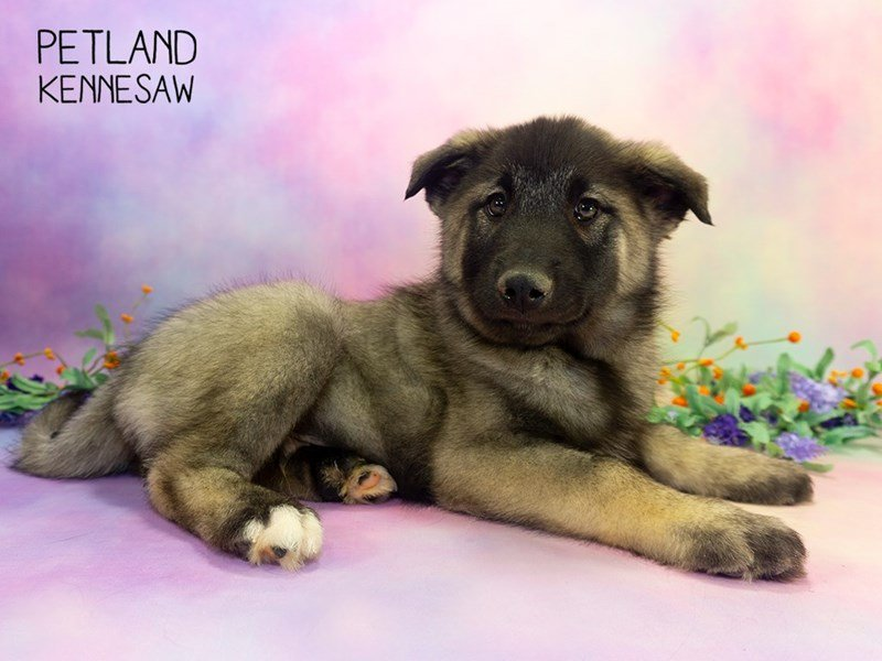 Norwegian Elkhound-Male-Gray Black / Silver-2303082-Petland Kennesaw