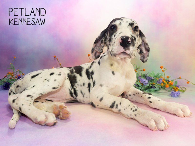 Great Dane-Female-Harlequin-2303078-Petland Kennesaw