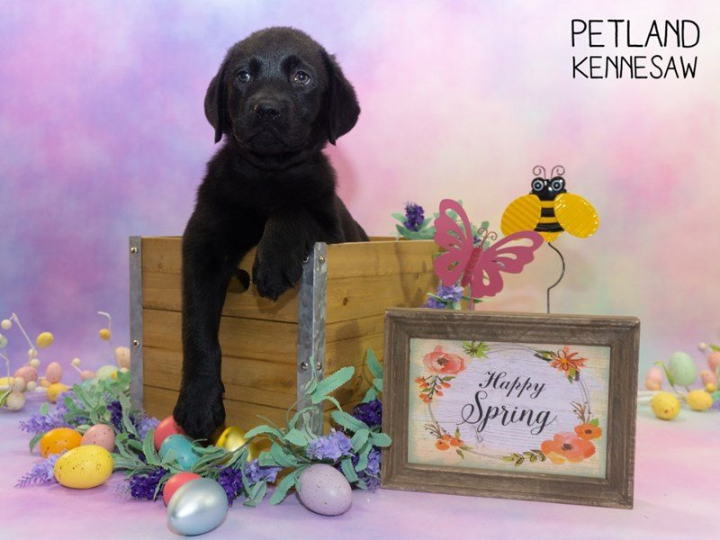 Labrador Retriever-Male-Black-2309727-Petland Kennesaw