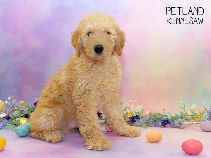 Goldendoodle 2nd Gen-Male-Apricot-2309680-Petland Kennesaw
