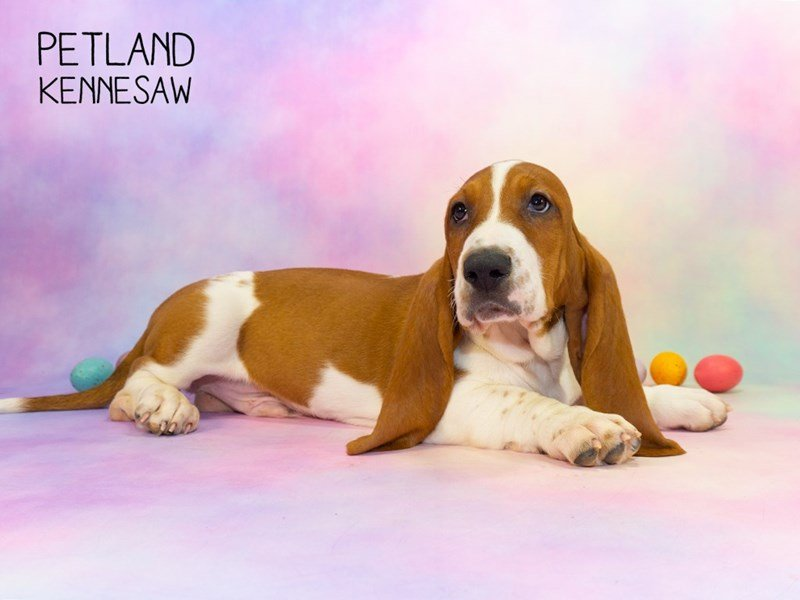 Basset Hound-Male-White / Red-2314166-Petland Kennesaw