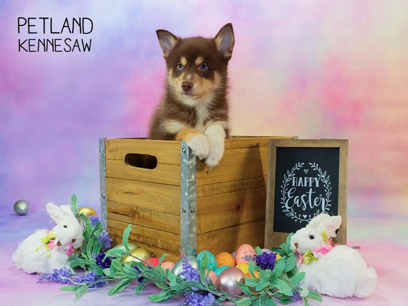 Pomsky-Male-Red-2319654-Petland Kennesaw