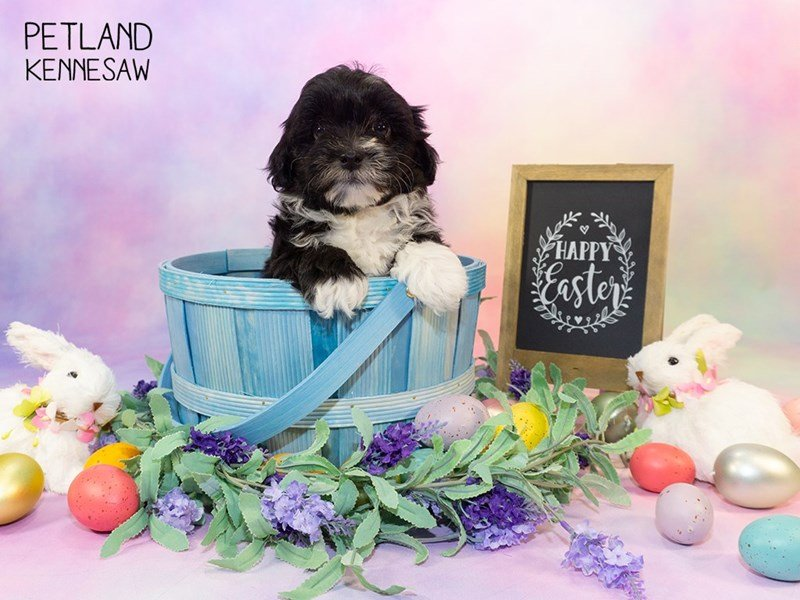 Havanese-Female-black wh-2324302-Petland Kennesaw