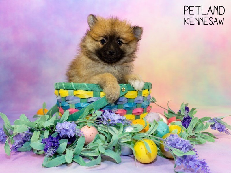 Pomeranian-Female-SABLE-2329590-Petland Kennesaw