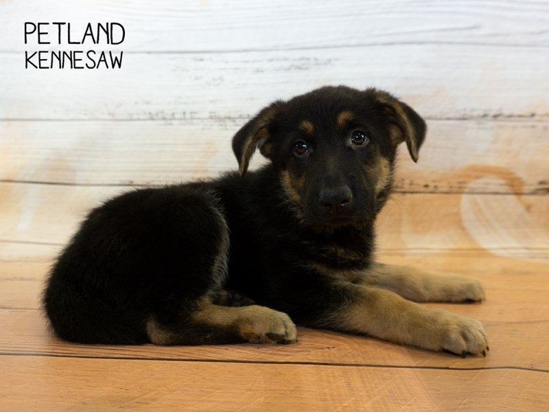 German Shepherd-Male-Black & Tan-2335214-Petland Kennesaw