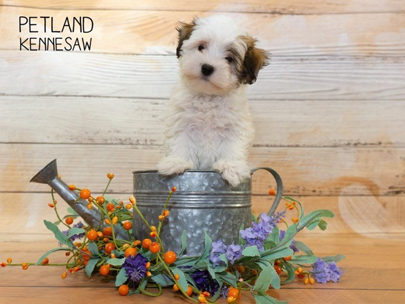 Havanese-Female-brown white-2334770-Petland Kennesaw