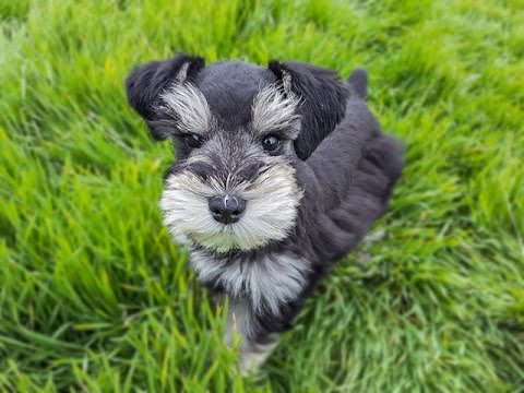 """7 """"Schnazzy"""" Schnauzer Facts from Petland Kennesaw!"""