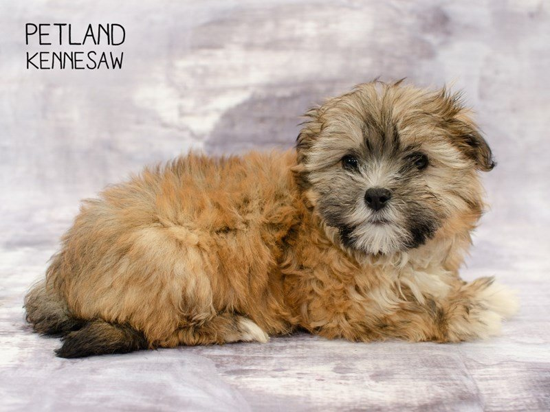 Malshih-Female-Red Sable-2292843-Petland Kennesaw