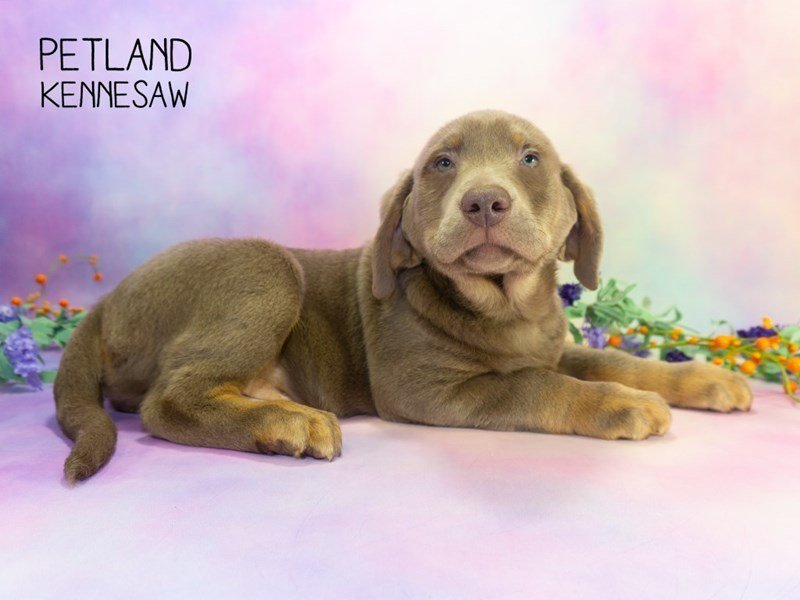 Labrador Retriever-Male-Silver-2303071-Petland Kennesaw