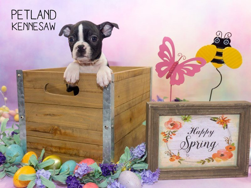 Boston Terrier-Male-Brindle / White-2309676-Petland Kennesaw