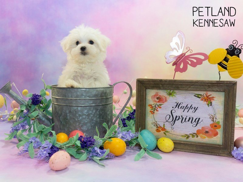 Maltese-Male-White-2309682-Petland Kennesaw