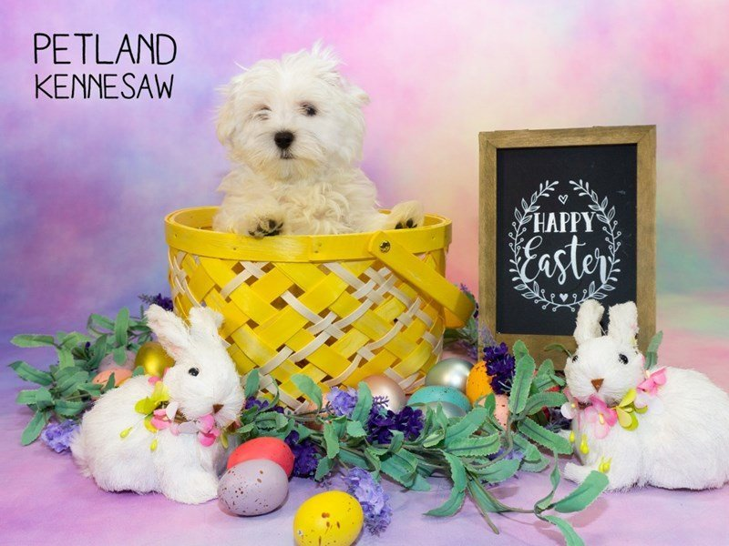 Maltese-Male-White-2314152-Petland Kennesaw
