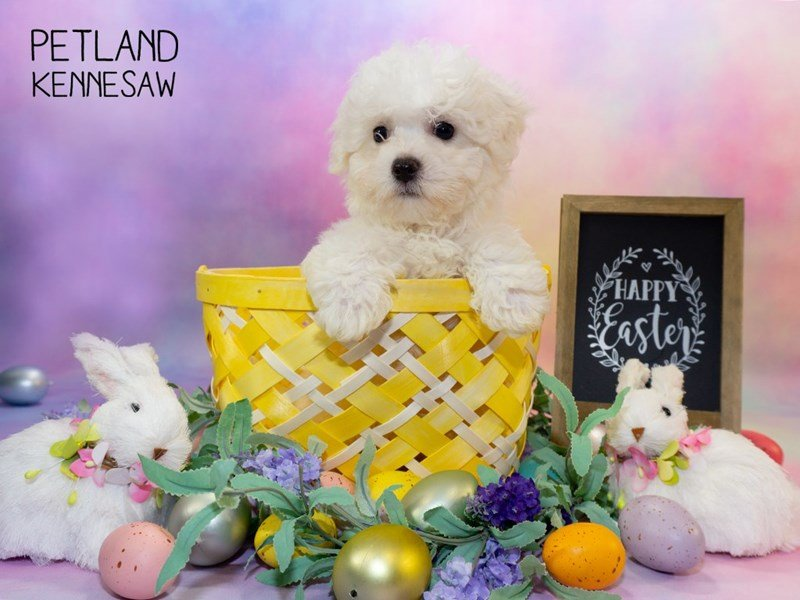Bichon Frise Puppies Breed Info - Petland Kennesaw