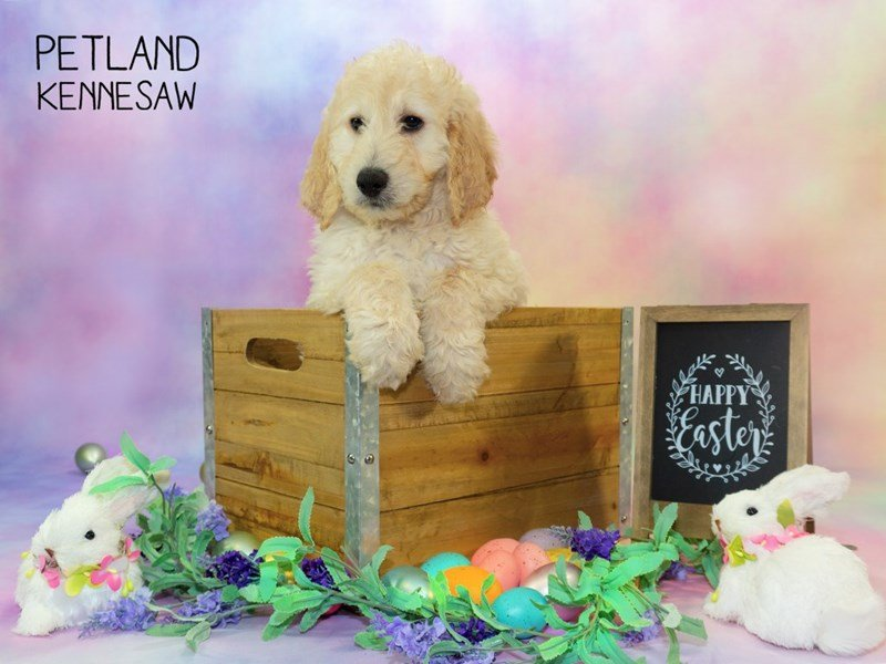 Goldendoodle 2nd Gen-DOG-Female-Light Golden-2319708-Petland Kennesaw
