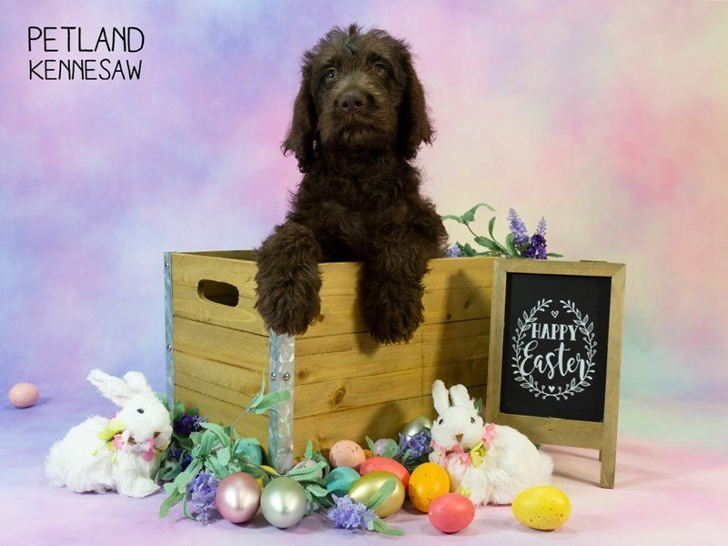 Labradoodle-DOG-Male-Chocolate-2324451-Petland Kennesaw