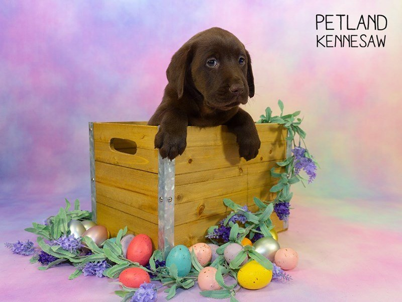 Labrador Retriever-Female-Chocolate-2329858-Petland Kennesaw