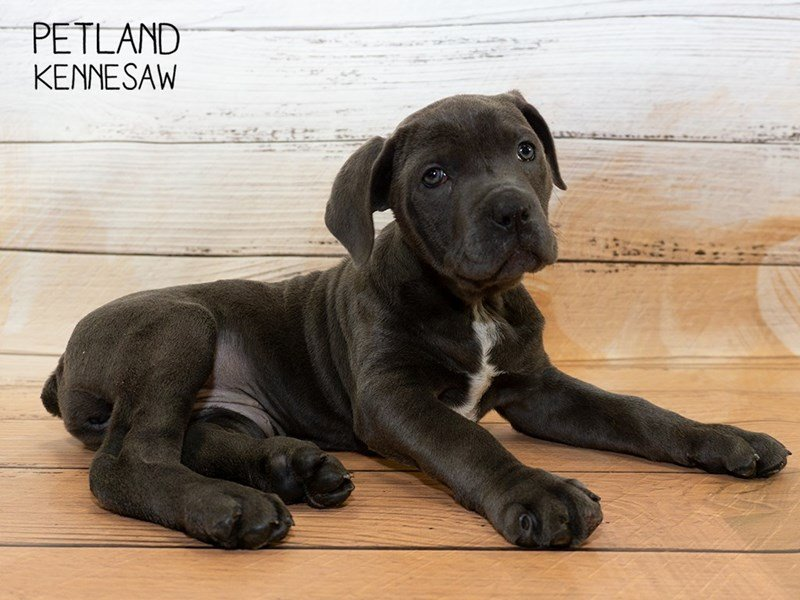 Cane Corso-Female-Blue-2335467-Petland Kennesaw