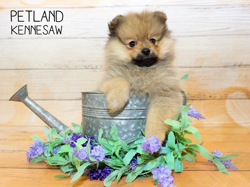 Pomeranian-Female-Brown-2342954-Petland Kennesaw