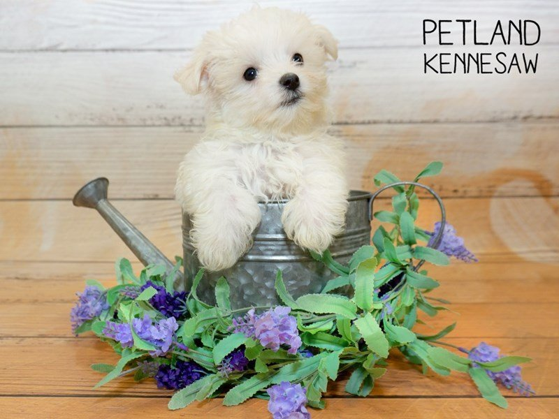 Maltese-Male-White-2342945-Petland Kennesaw