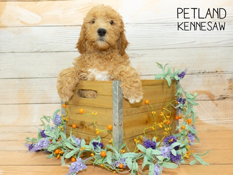 Goldendoodle 2nd Gen-Male-Apricot-2341879-Petland Kennesaw