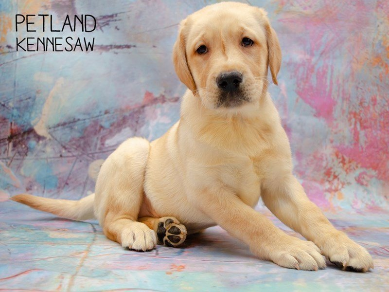 Labrador Retriever-Male-Yellow-2346577-Petland Kennesaw
