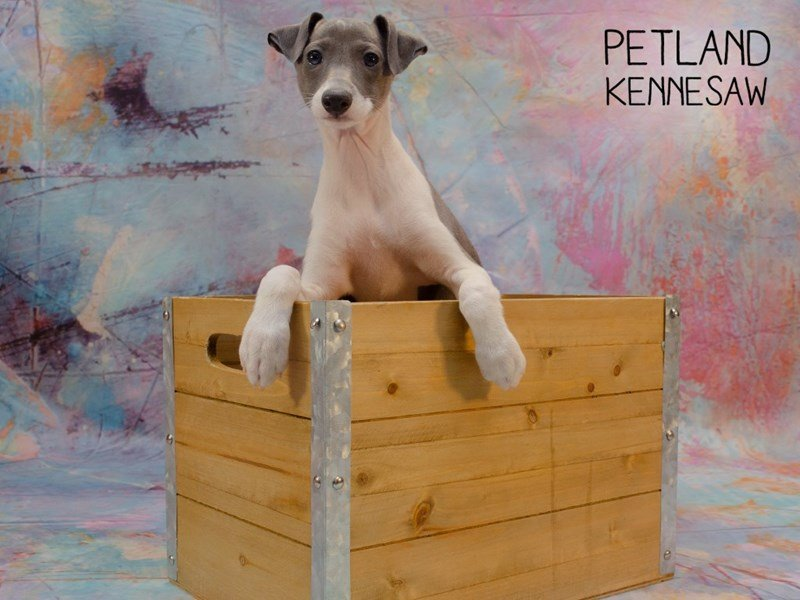 Italian Greyhound-DOG-Female-Blue-2346610-Petland Kennesaw