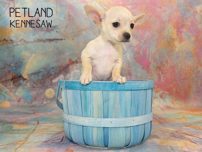Chihuahua-Female-CREAM-2351371-Petland Kennesaw
