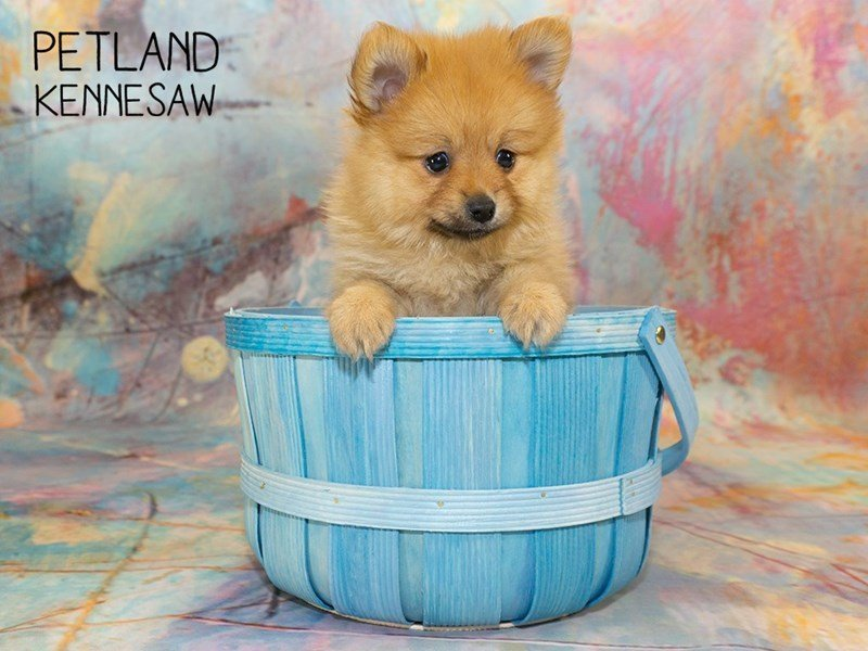 Pomeranian-Female-SABLE-2350962-Petland Kennesaw