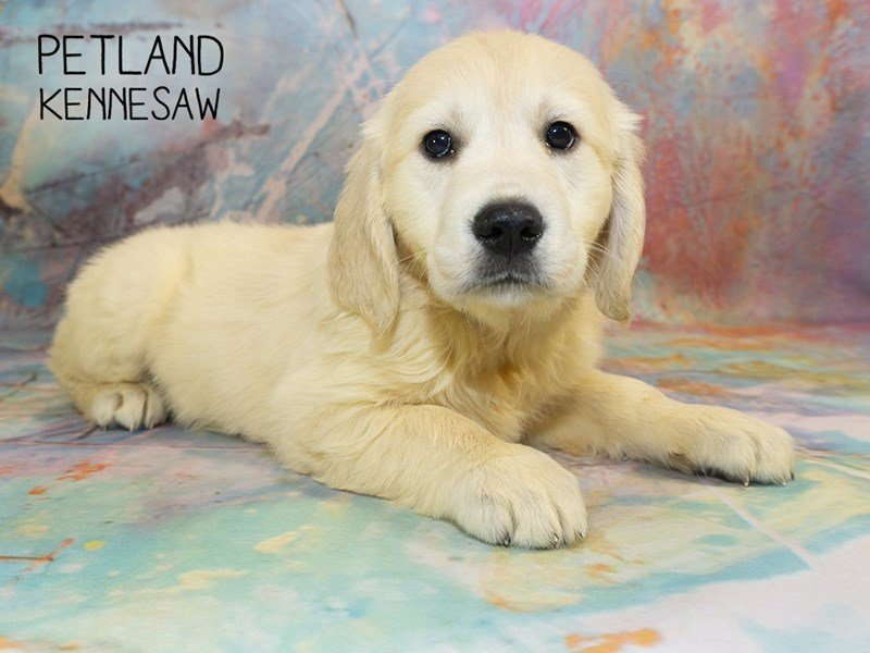 Golden Retriever-Female-Golden-2351120-Petland Kennesaw