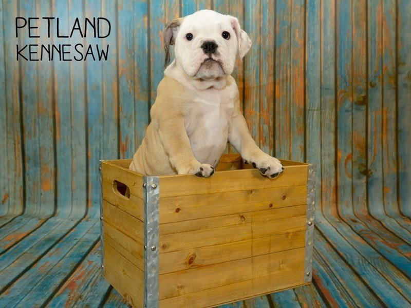 Victorian Bulldog-DOG-Female-Fawn / White-2356999-Petland Kennesaw
