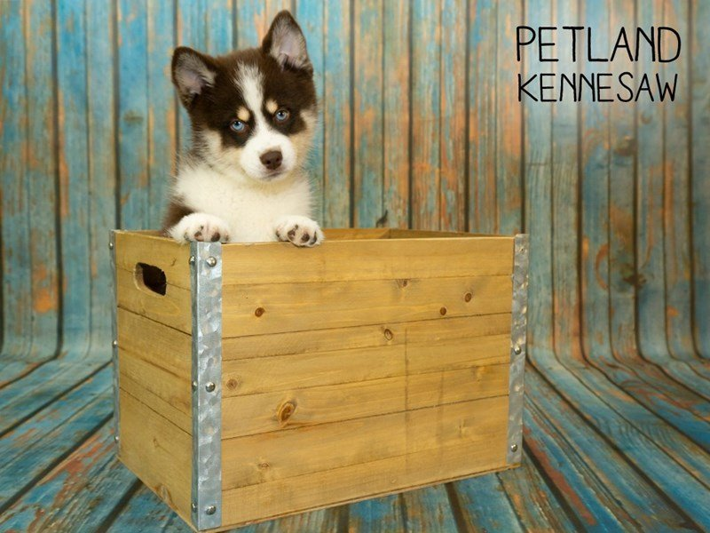 Pomsky-Female-Red / White-2356932-Petland Kennesaw