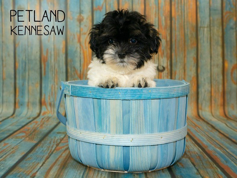 Havanese-Female-Black / White-2357018-Petland Kennesaw