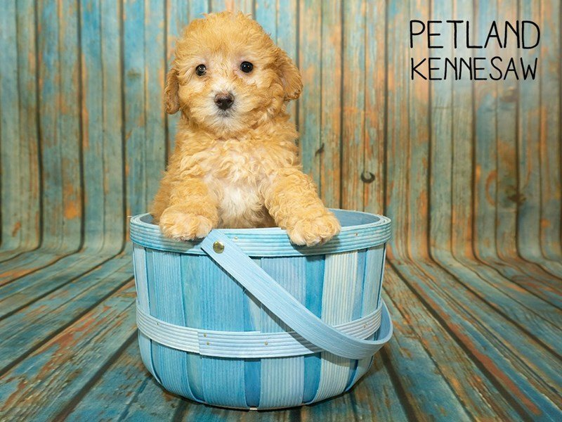 Miniature Poodle-Male-Red-2356936-Petland Kennesaw