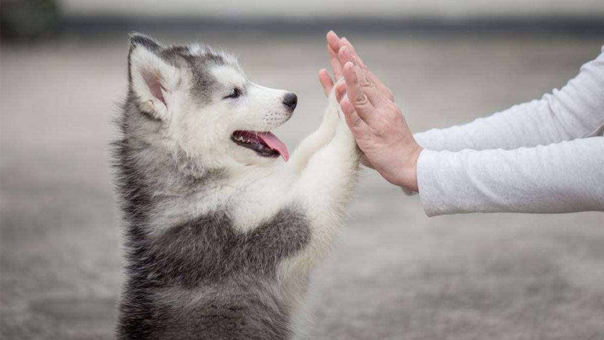 3 Facts About Husky Puppies for Sale in GA