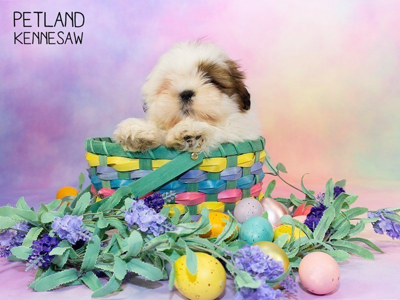 Shih Tzu-Female-brown white-2329642-Petland Kennesaw
