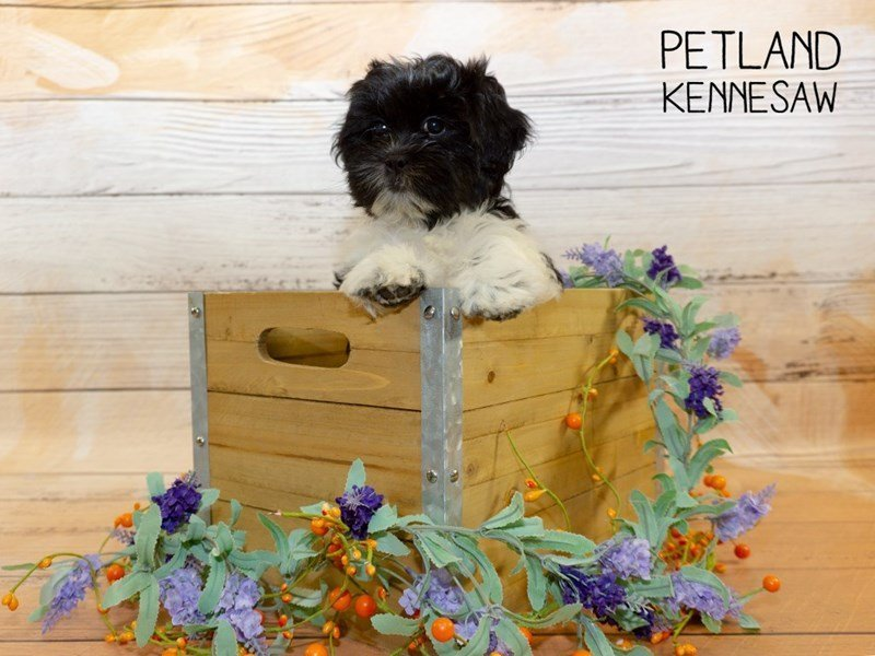 Shih Tzu-Male-Black / White-2335469-Petland Kennesaw