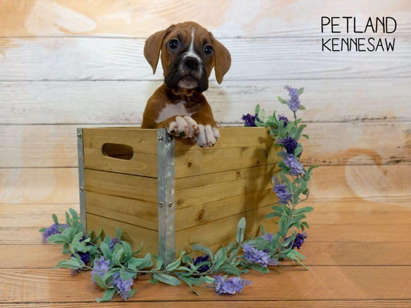 Boxer-Male-Fawn / White-2335508-Petland Kennesaw
