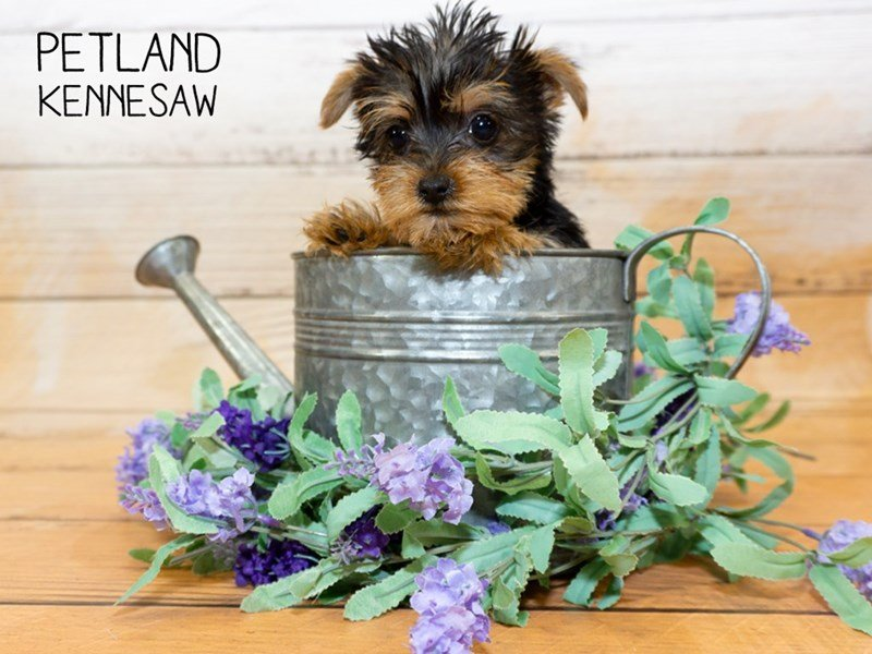 Yorkshire Terrier-Female-black and tan-2342948-Petland Kennesaw