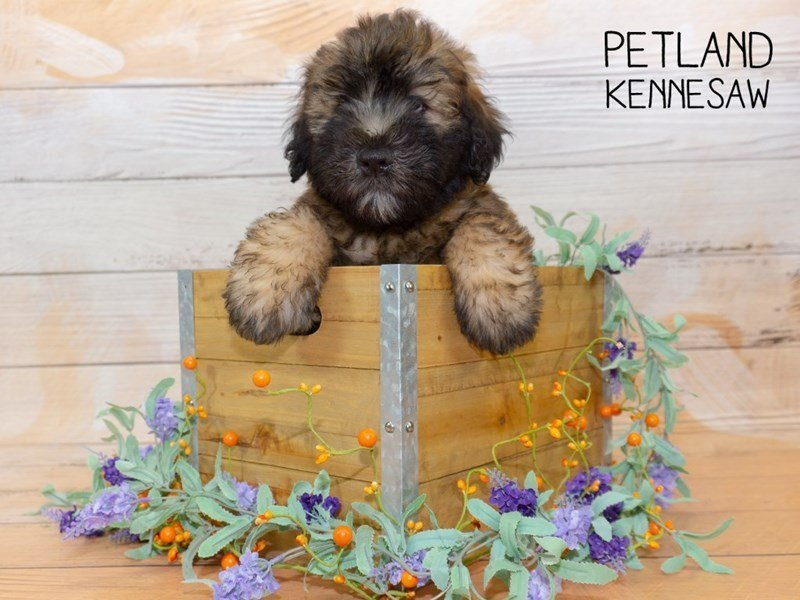 Soft Coated Wheaten Terrier-Male-Wheaten-2341880-Petland Kennesaw