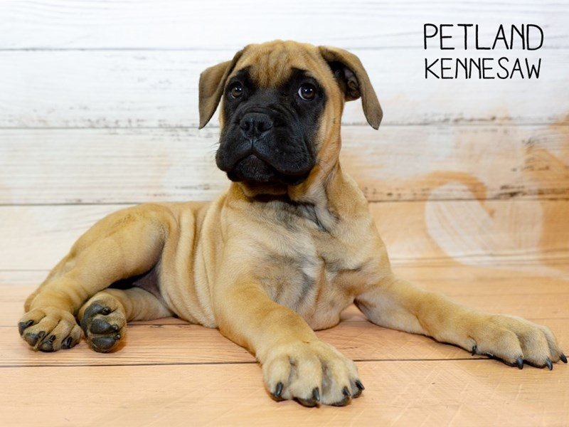 Bullmastiff-Female-Red Fawn-2341877-Petland Kennesaw