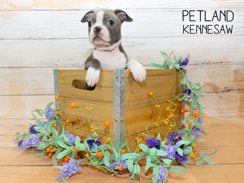 Boston Terrier-Female-BLUE WHITE-2340129-Petland Kennesaw