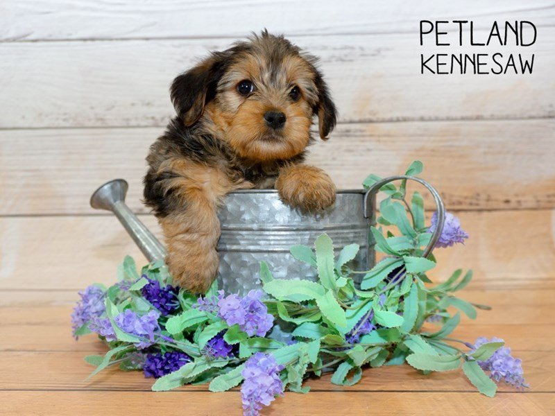 Yorkshire Terrier-DOG-Female-BLACK TAN-2339947-Petland Kennesaw