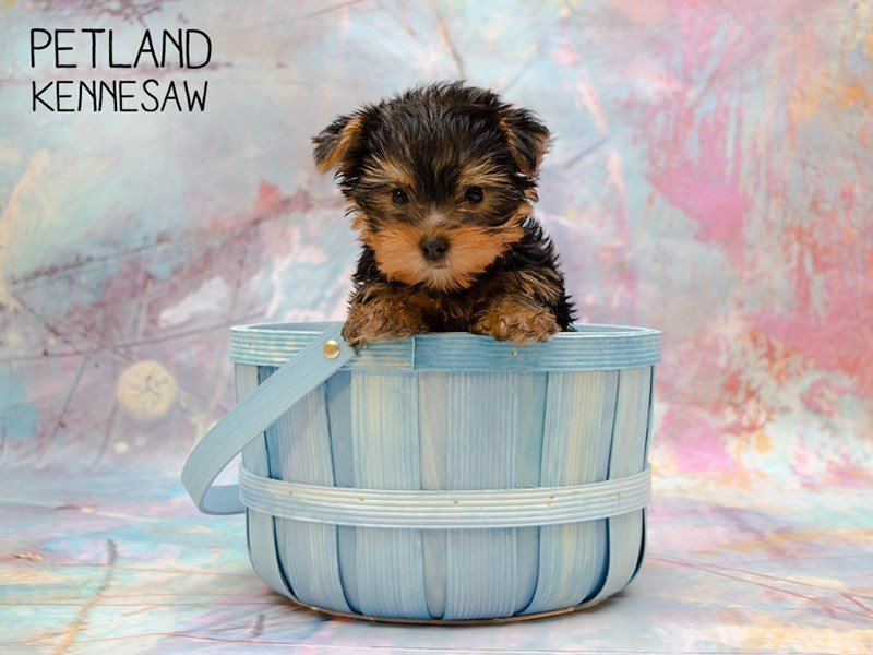 Yorkshire Terrier-DOG-Male-BLK & TN-2346107-Petland Kennesaw
