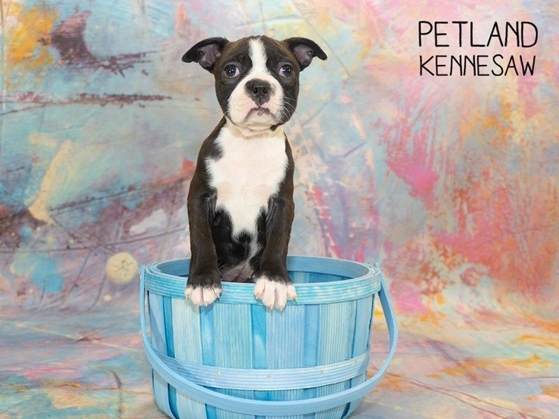 Boston Terrier-Female-Black White-2351414-Petland Kennesaw