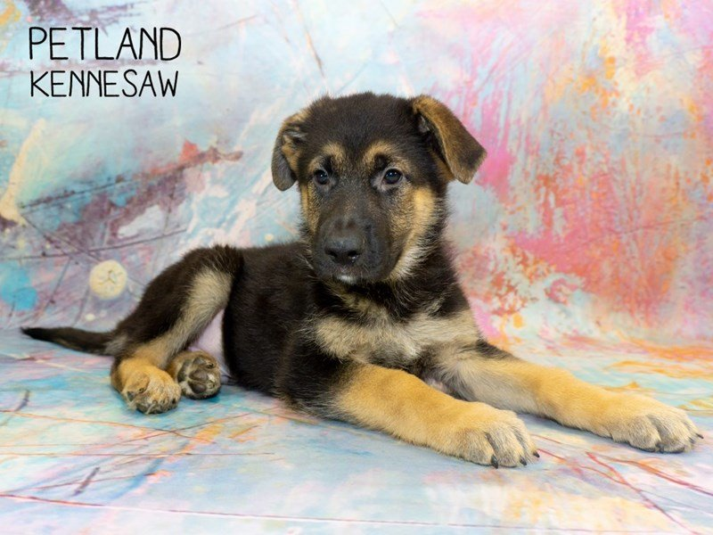German Shepherd-Male-Black and Tan-2351061-Petland Kennesaw