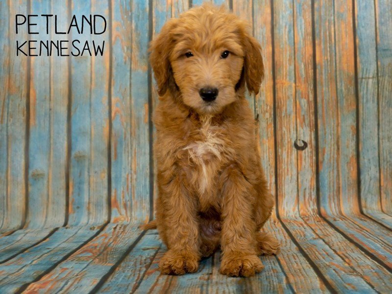 Goldendoodle-Male-Red-2362440-Petland Kennesaw