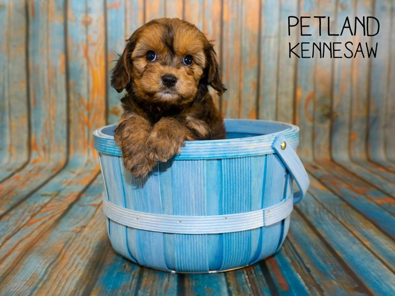 Cavachon-Female-Sable-2362439-Petland Kennesaw