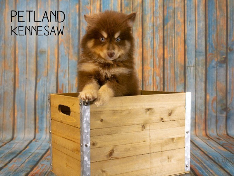Pomsky-Male-Chocolate / Tan-2362437-Petland Kennesaw