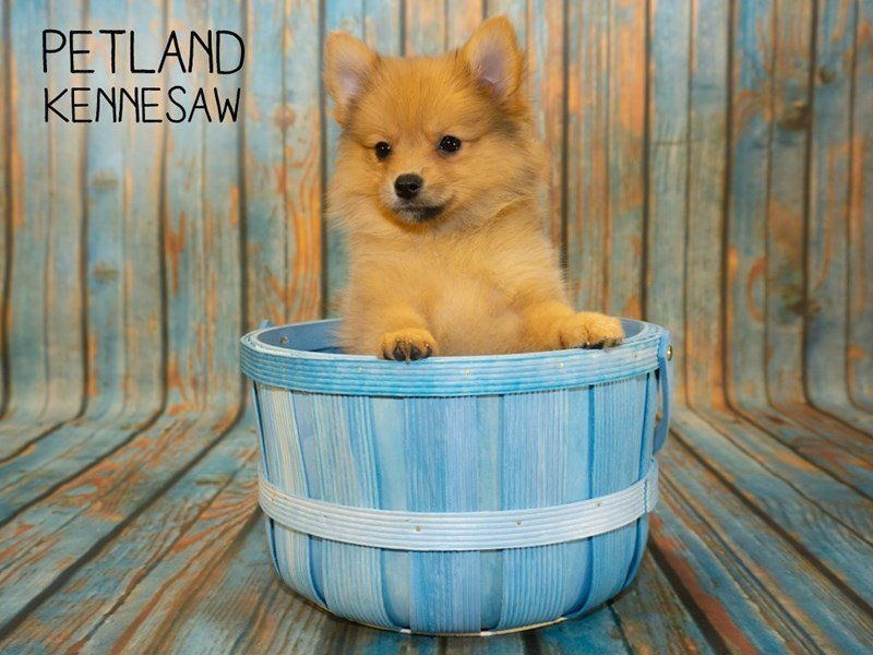 Pomeranian-Female-Sable-2362438-Petland Kennesaw