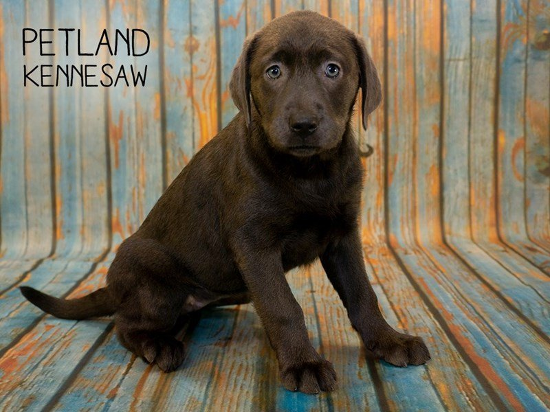 Labrador Retriever-Female-Charcoal-2362443-Petland Kennesaw